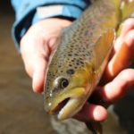 Snow Melt and Brown Trout